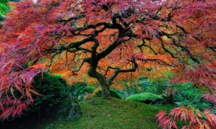 درخت جاودانگی