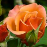 گل در ادبیات ایران
