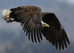 عقاب نگون بخت